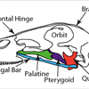 The quadrate bone plays a central role in feeding mechanics, particularly in the elevation of the upper bill. It has been hypothesized that the movement of the quadrate is transferred primarily through the pterygoid and palatine bones to the upper bill (Bock 1964, Gussekloo et al. 2001, Zweers 1974, van Gennip and Berkhoudt, 1992).