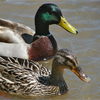 A male and female Mallard duck. All of the ducks in this study were female.
