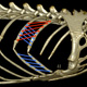 To measure intercostal muscle fascicle strain, a 3D digitizer is used to map the fascicles from an iguana cadaver onto the 3D models of the ribs. Then the XROMM animation is used to measure intercostal fascicle strain. External intercostal (red) and internal intercostal (blue) fascicles are shown here.